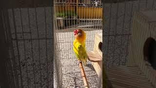 #lovebirdkonslet  #lovebirdpusoko                                LOVEBIRD KONSLET PUSOKO JPM78SF BJM