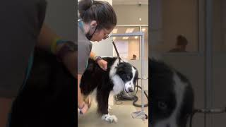Grooming Your Border Collie / Long Haired Dog