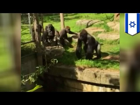 Brave animals caught on camera: Courageous gorilla saves sister from moat at Israeli zoo
