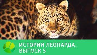История леопарда  Выпуск 5 @ Живая Планета