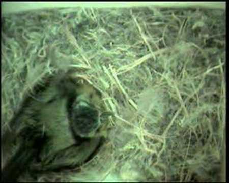 Cinciarelle appena nate parus caeruleus youtube for Tartarughe appena nate
