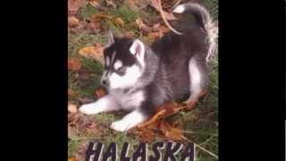 Nos Siberian Husky
