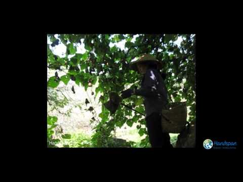 How to harvest Chayote in Moc Chau, Vietnam