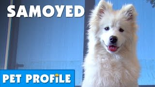 Samoyed Pet Profile | Bondi Vet