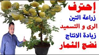 زراعة التين في المنزل, طريقة زيادة انتاج التين , تسريع نضج ثمار التين , متى تنضج ثمار التين,