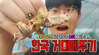 최초)거대메뚜기떼 \