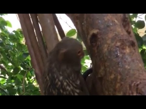 what does the pygmy marmoset eat