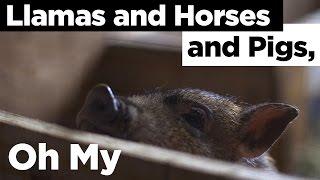 Llamas and Horses and Pigs, Oh My.