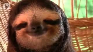 Ленивец отдыхает. Ржака!