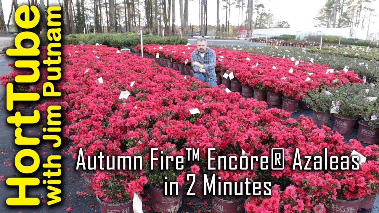 Autumn Fire Encore Azaleas In 2 Minutes Youtube