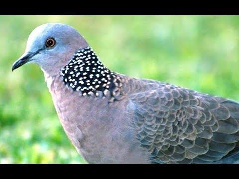 Mbeto Burung Derkuku Making Bird Sound Using Hands Hd Youtube