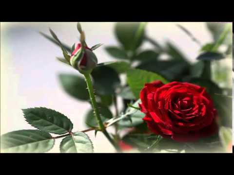 Róża Czerwona To Miłość