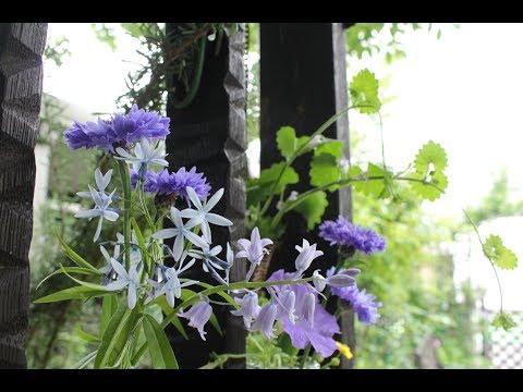 小さな窓の花ごよみ 581 矢車草 ♪ レディー・ケアリー:つのだたかし ♪