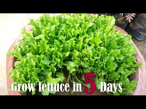 How To Grow Lettuce Youtube