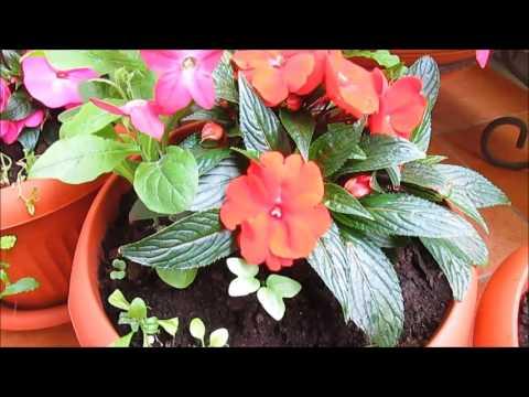 цветы на балконе  -  бальзамин новогвинейский