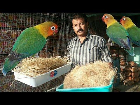 Lovebirds Ko Nest Material Konsa Den Or Kaise Den