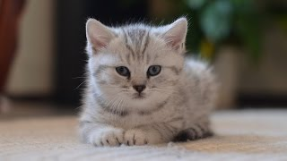 Скоттиш-страйт  шотландский котенок Scottish Straight kitten