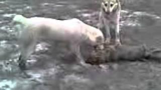 собаки жрут лисицу смотрите до конца