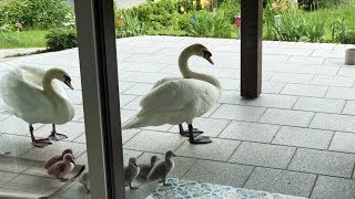 Friend Swan brought his family