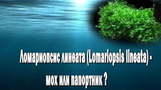 Ломариопсис линеата Lomariopsis lineata мох или папортник