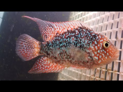 Red Texas Cichlid Grooming Tips & Tricks