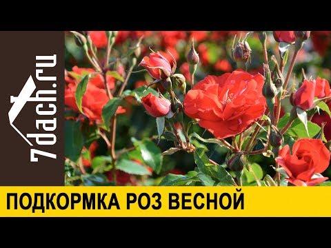 🌹 Первая весенняя подкормка роз - 7 дач