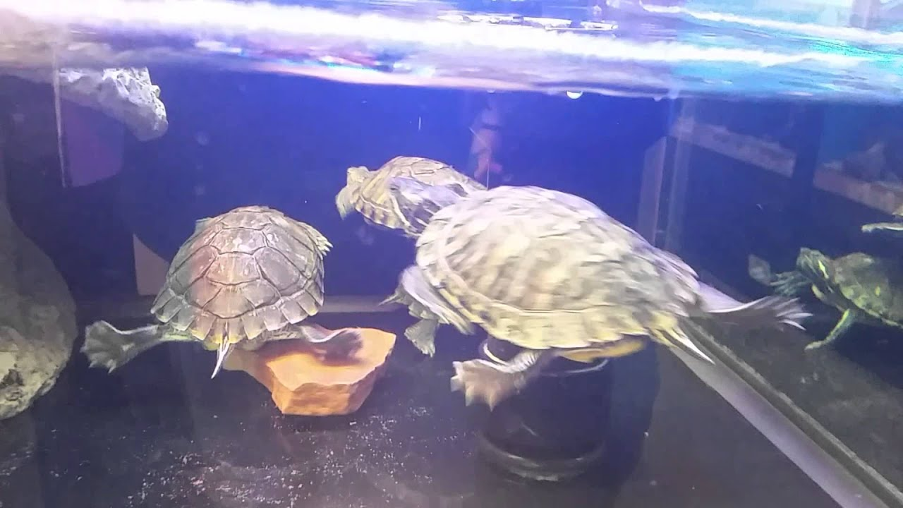 Petco Aquatic Turtles