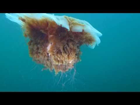 Giant Lion's Mane Jellyfish
