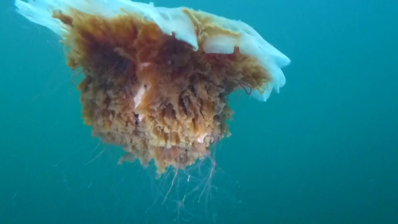 giant lion u0027s mane jellyfish youtube