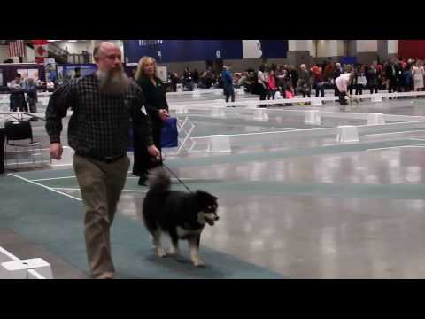 Karhu at Seattle Kennel Club Dog Show - March 12 2017