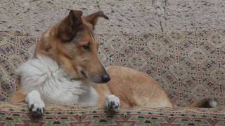 One day from dog's life  Smooth collies with Schapendoes