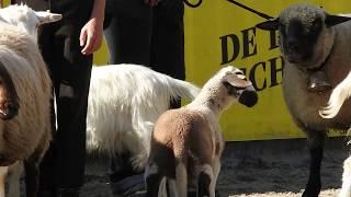 Spiegelschaf(眼鏡・羊の意味)の子羊 英国原産の羊 Shropshire(シュ...