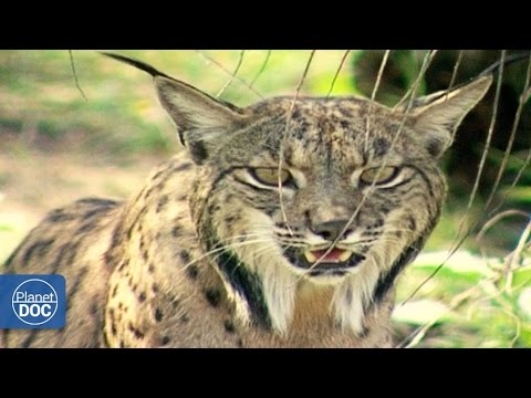 Iberian Lynx Documentary | Part 1