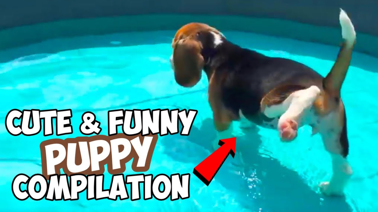 Cute & Funny BEAGLE PUPPY Compilation : Must See!
