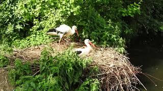 クラッタリングするシュバシコウ White Stork 2018 0607