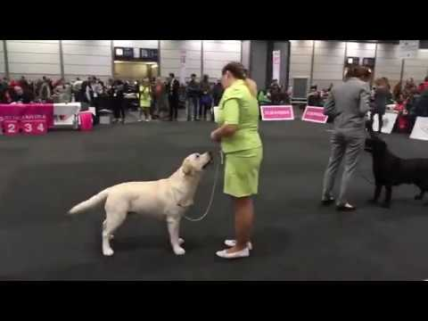World Dog Show 2017, Labrador Retriever