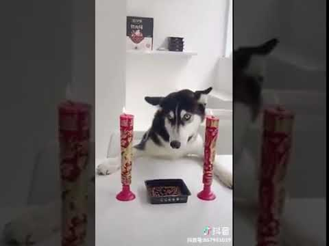 Dog Series: When a dog does not like its birthday present