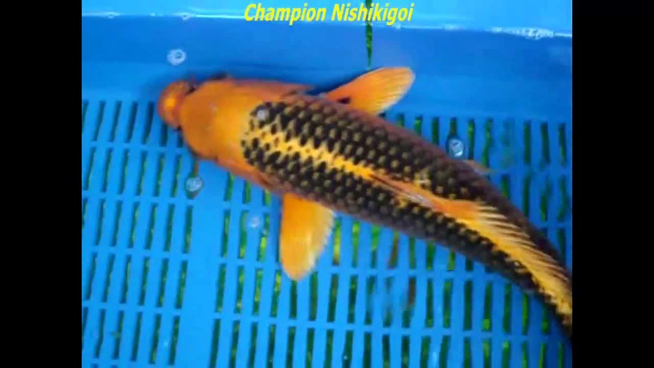 Kin matsuba 11 h 112 marusei youtube for Kin matsuba koi