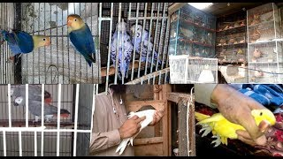 All Birds Setup Parblue - Albino - Ringneck - Grey Parrot & Pigeons