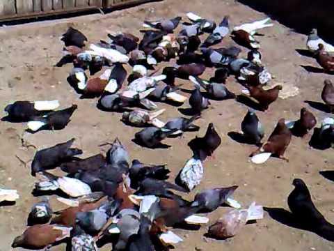 Голуби николаевские продажа. дата записи 26 08 11.mp4 - YouTube