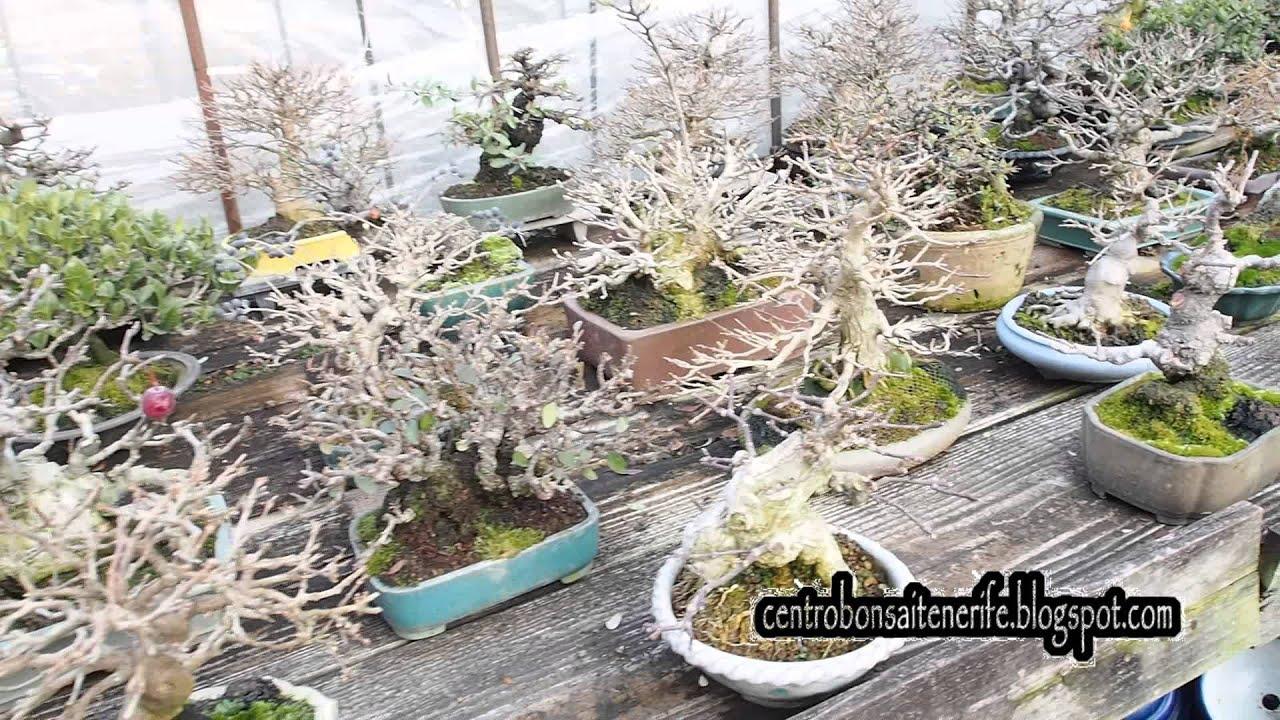 Бонсай-карликовые деревья для дома и офиса. Бансай с доставкой.