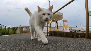 怒りん坊の白猫がモフられにトコトコ歩いて来た
