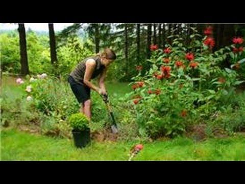 Transplanting & Maintaining Garden Perennials : How to Plant Small Shrubs