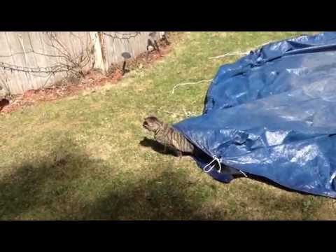 Funny Cat Walks Around Under Tarp
