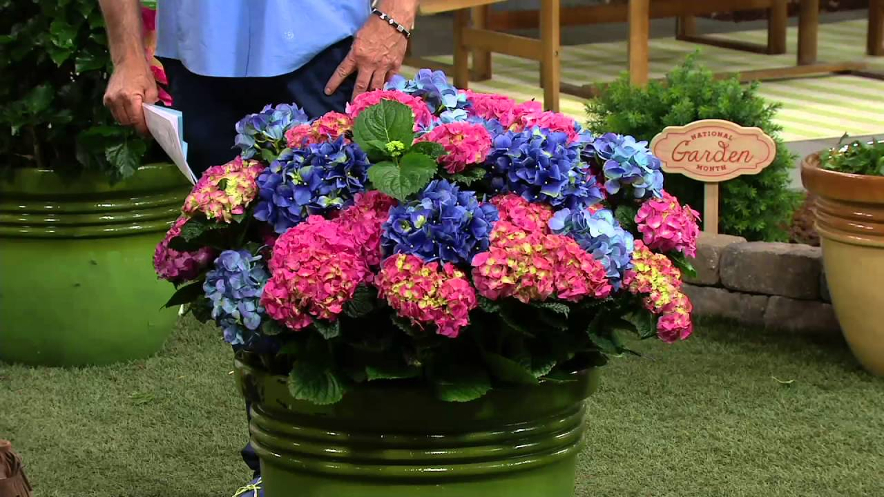 Cottage Farms 2 Piece La Dreamin Hydrangea On Qvc