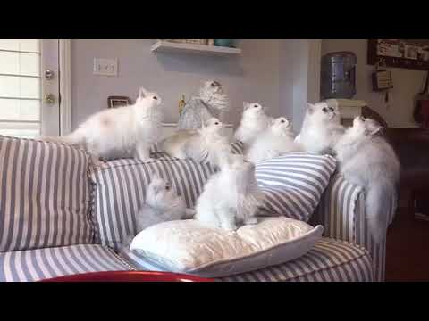 Dancing Munchkin / Minuet Kittens from Lavenders Cattery