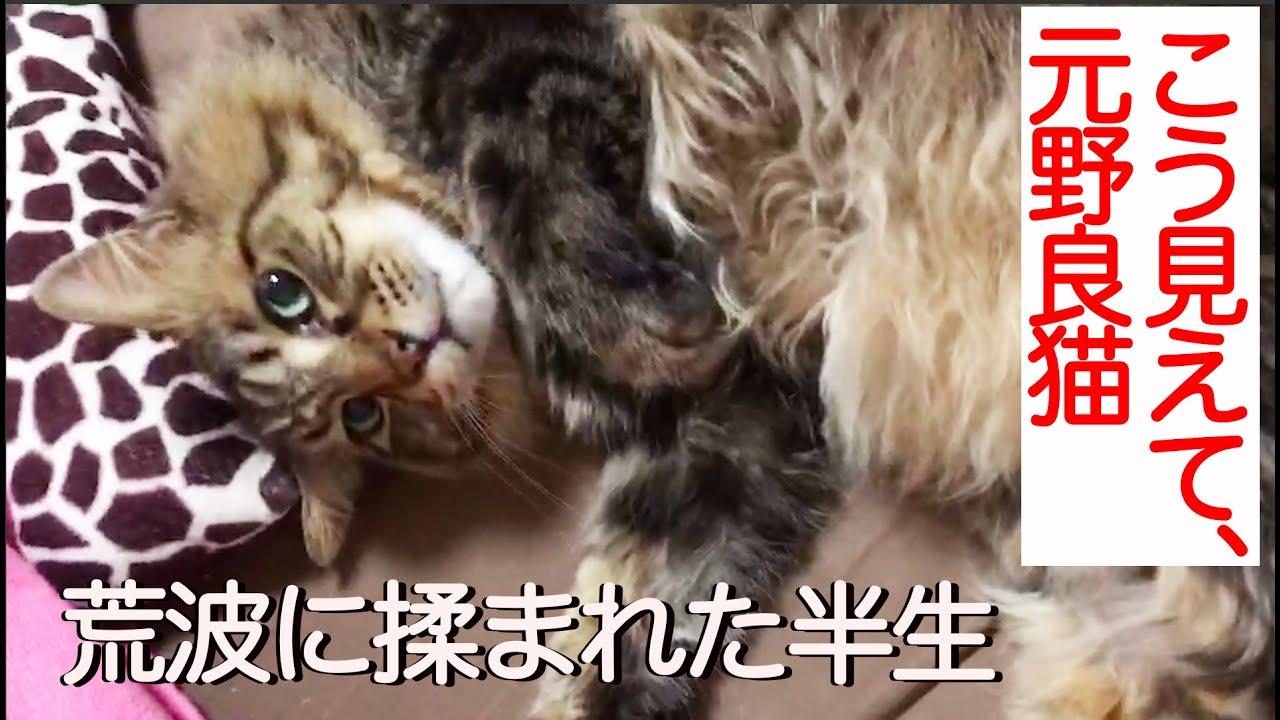 高貴なたぬき猫、野良猫社会の荒波を生きる The long-hair cat like a racoon 'Tanu-chiky' story