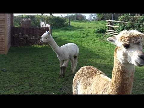 Alpacas of Upper Coxley, Somerset