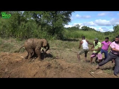 Elephant mother and baby saved from a mud hole