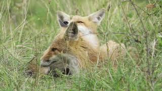 Cute foxes in Abruzzo